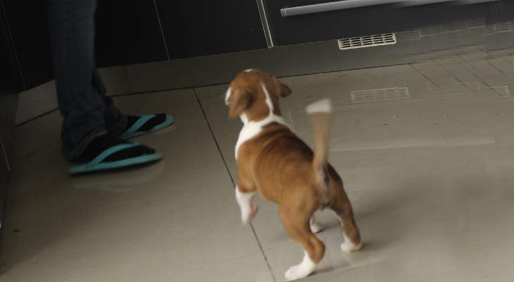 Boxer puppy in kitchen waiting on his or her daily food