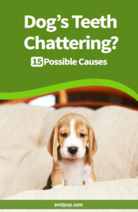 Dog's Teeth Chattering 15 Possible Causes ..
