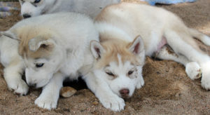 Husky puppies laying on the floor after a nutritious meal