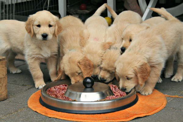 Puppies on a raw meat diet each eating its own portion