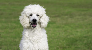 well fed Poodle pup