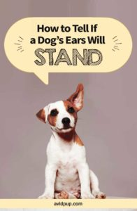 How to Tell If a Dog's Ears Will Stand..?