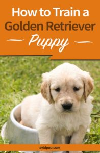 How to Train a Golden Retriever Puppy…(13 tips & tricks)