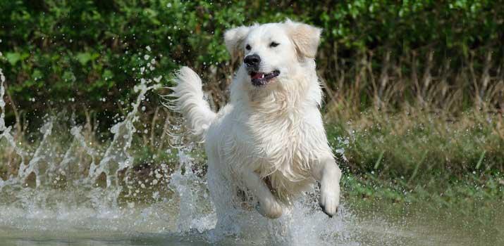 How To Train A Golden Retriever Puppy13 Tips Tricks Avid Pup