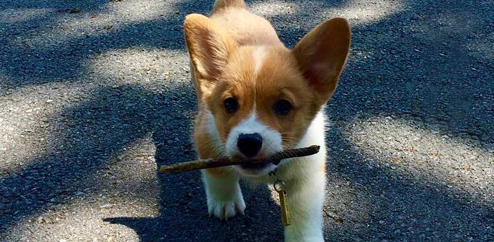 puppy with a bully stick