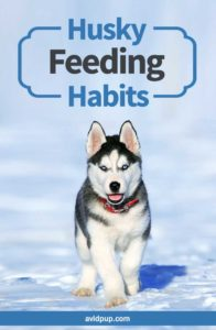 What do Huskies Eat? (feeding habbits)