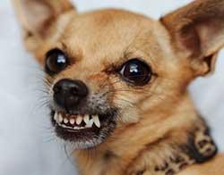 dog Grimacing