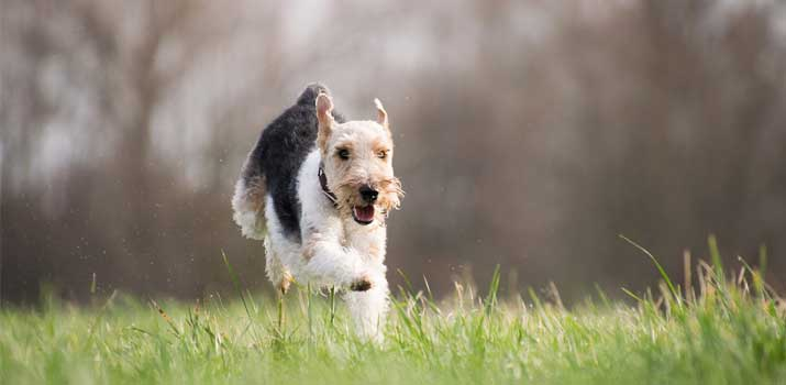 dog running outside who has been fed the Recommended Sodium Levels for Canines