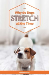 Why do Dogs Stretch all the Time?
