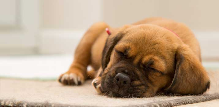 pup sleeping on a chewproof durable dog bed / crate pad