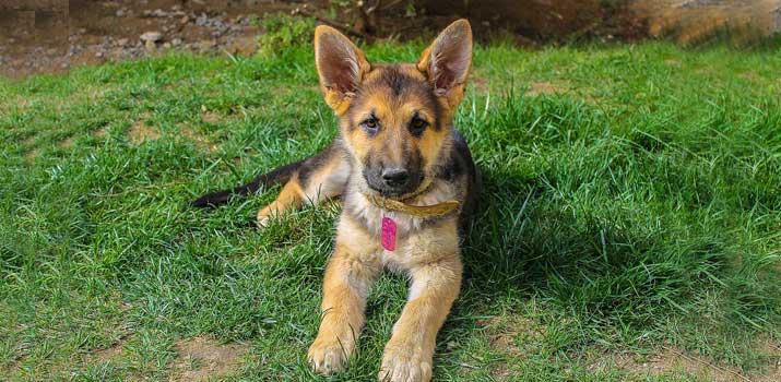 well fed german sheoherd pup