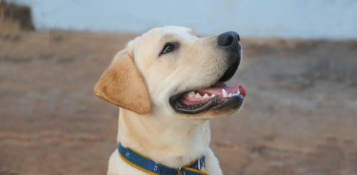 well fed healthy labrador dog
