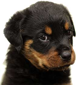 Rottweiler Pup looking up like he is asking for food