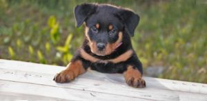 Well fed Rottweiler Puppy climbing on table