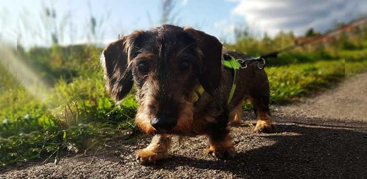 dachshund wearing a harness