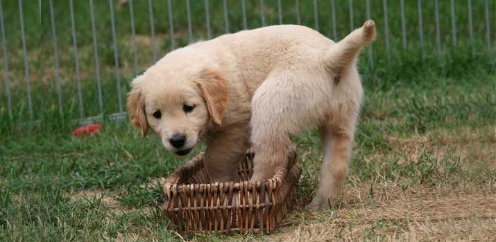 well fed Golden Retriever pup