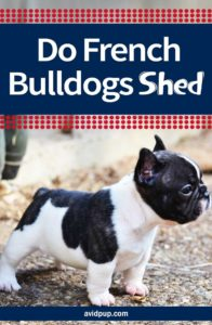 Do French Bulldogs Shed & how to Minimize it