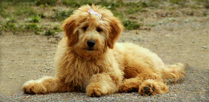 well-fed-Goldendoodle