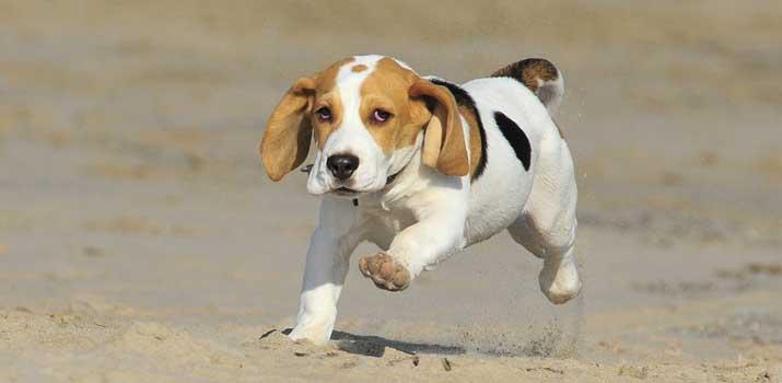 well fed acive beagle puppy