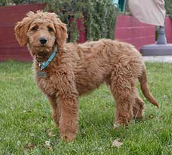 Goldendoodles puppy