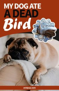 My Dog Ate A Dead Bird… What to Do?