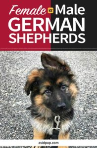 Female vs. Male German Shepherd Traits