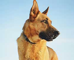 Healthy German Shepherd
