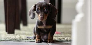 Puppy Ready to Switch to Adult Dog Food