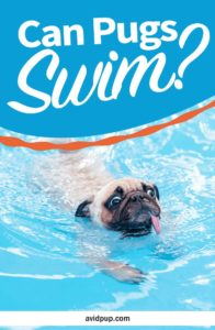 Can Pugs Swim? Should you be Worried?