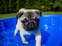 Pug in a swimming pool
