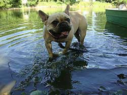 pug walking through water before he tries to swim