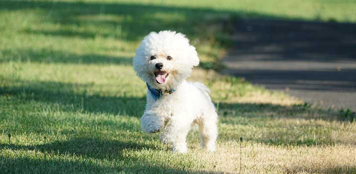 bichon poodle mix designer dog
