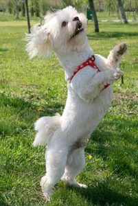 Physical Appearance of the Bichon Poodle Mix