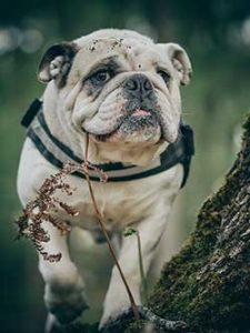 English Bulldog on a walk with a harness around his chest