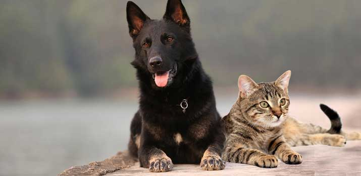 German Shepherd teaming up with a cat