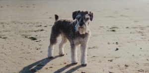 well fed Miniature Schnauzer on the beach