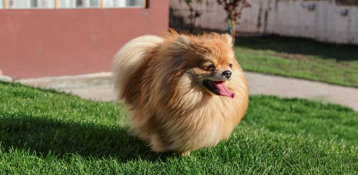 Pomeranian  with beautifull fur