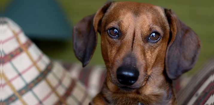medium energy dachshund dog