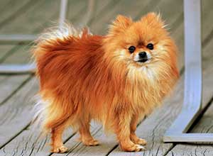 pomeranian shedding