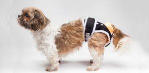 puppy wearing a diaper