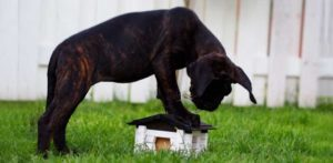 Well fed healthy Cane Corso pup