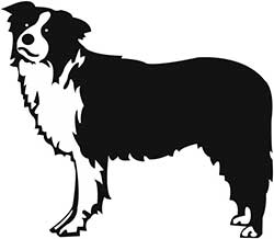 border collie head and body shape