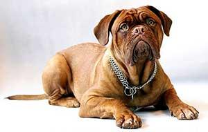 English-Mastiff- puppy