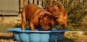 Well-fed-English-Mastiff-puppies